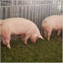 High pig prices offer opportunity for producers